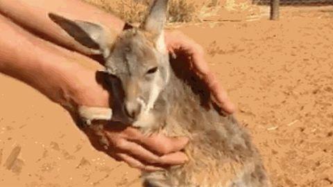 Imád kezeket ölelgetni a bébikenguru – cuki gif
