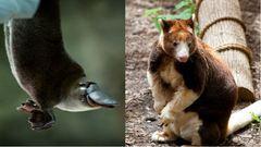 20 ausztrál állat, nem veszélyesek, ellenben szupercukik