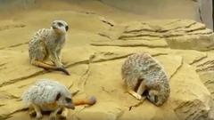 Lehengerbucskázik a kőről az alvó szurikáta – cuki videó
