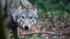 Újra levideózták a magyar farkast
