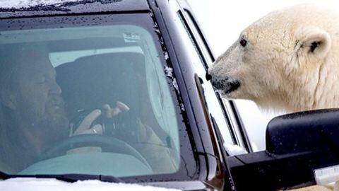 Jegesmedve környékezte meg az autójában remegő turistát – cuki képek