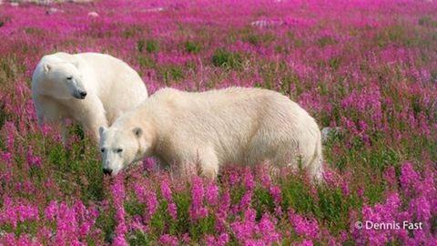 Így nyaralnak a jegesmedvék – fotók