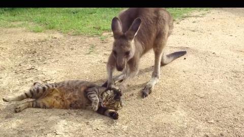 Cuki videó: cicával mókázik a kenguru