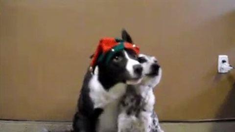 Besírsz ezen a két, karácsonyi fotónak pózoló kutyán!