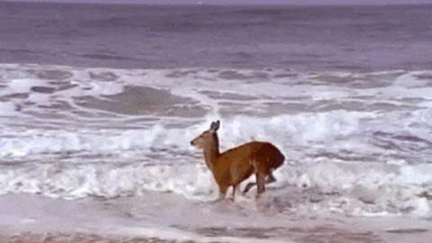 Elvarázsolta az óceán látványa a szarvast