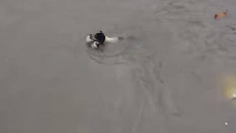 Árvíz elől menti kölykeit az ügyes kutya – megható videó