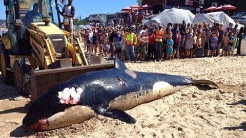 Szeméttel volt teli a halott kardszárnyú delfin gyomra
