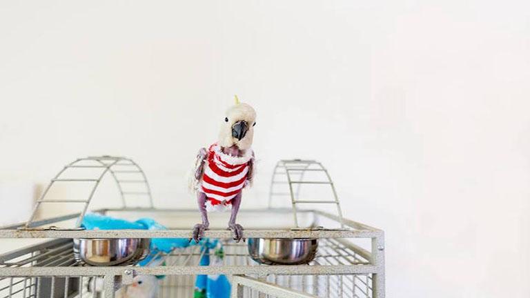 Pulóverekkel tartják melegen a tollfosztott papagájt - megható fotók