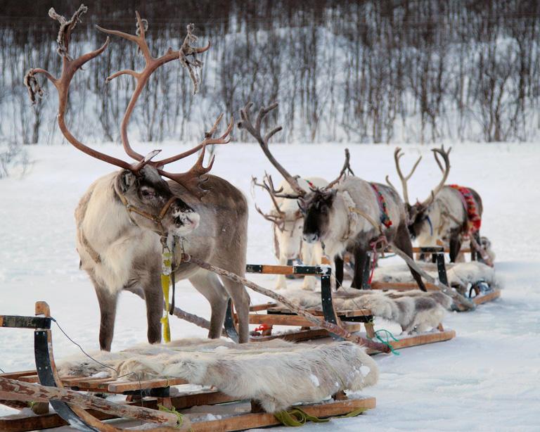 Rénszarvas karaván, Tromso, Norvégia