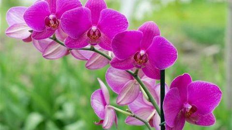 Teával is tápanyagozhatod az orchideát