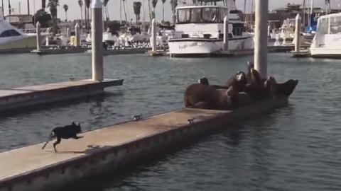 Visszazavarta a vízbe a napozó fókákat a kutya – videó