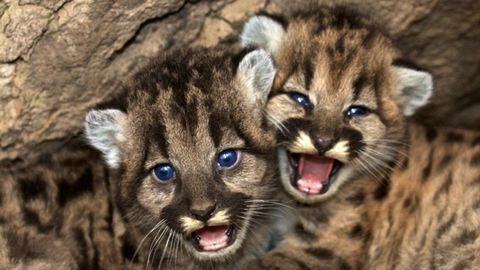 A hegyi oroszlánkölyköknél ma már nem látsz cukibbat – videó
