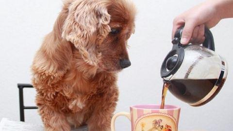 Ezek a kutyák még nálad is nagyobb kávéfüggők!