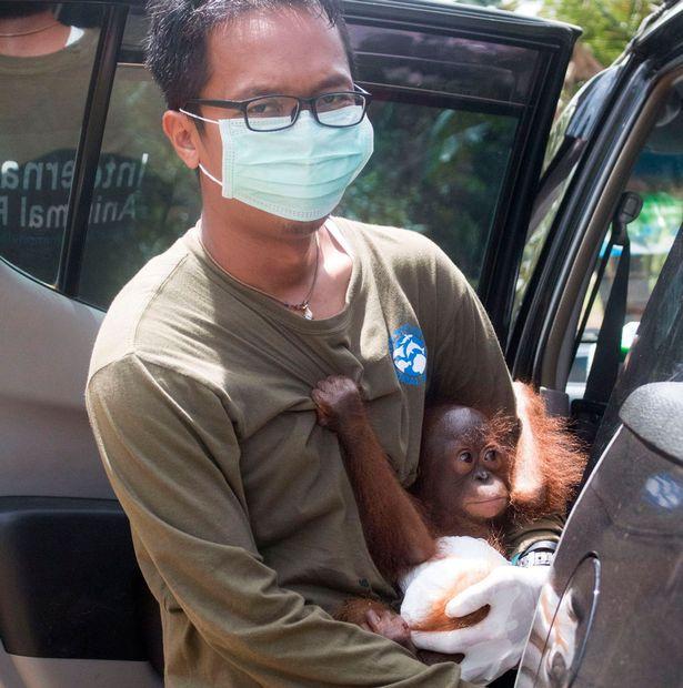Magát ölelgeti a kis orángután, mióta elveszítette a mamáját