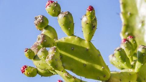 A kaktusz lenne az új szuperkaja?