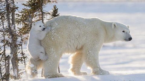 Mamája hátsóján cipeltette magát a jegesmaci – cuki képek