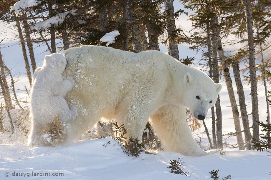 Mamája hátsóján cipeltette magát a jegesmaci - cuki képek