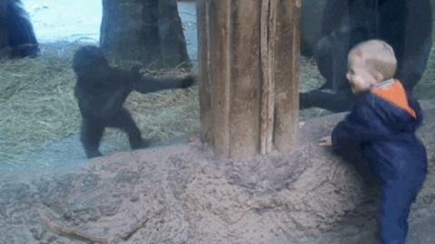 Összebarátkozott a kisfiú és a gorillabébi – cuki videó