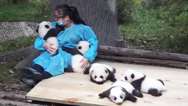 A világ legjobb munkája a pandaszeretgetés!
