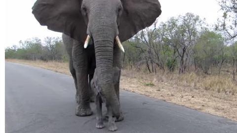 A villanó vakuktól védi kicsinyét az elefántmama – videó