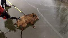 Vaddisznó-curling: korcsolyázók mentették meg a fagyott tavon rekedt állatokat – videó