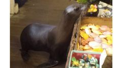 Vicces videó: ajándékboltban vásárolgatott a fóka