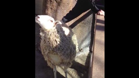 Vicces videó: vakargatásért könyörög a bárány