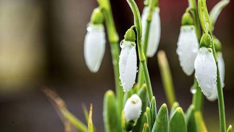 Előbújtak az első hóvirágok – fotók
