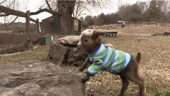 Ennél a pulcsis bébikecskénél ma már nem lesz cukibb - videó