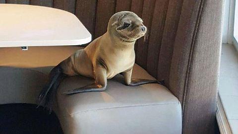 Étterembe szökött a bébifóka – cuki fotók