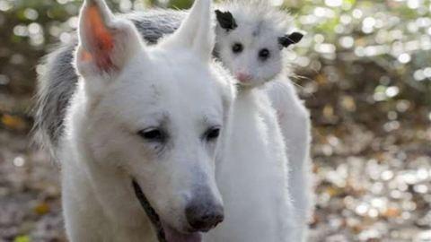 Csodás barátság: elválaszthatatlan a kutya és az oposszum