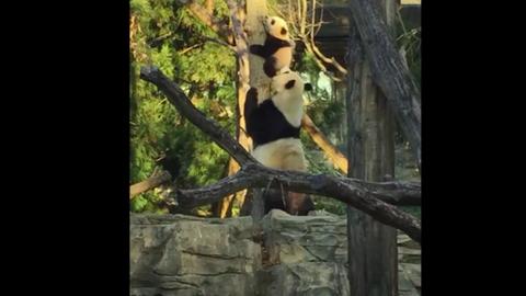 Cukiság: mamája segít lekászálódni a fáról az ijedt bébipandának