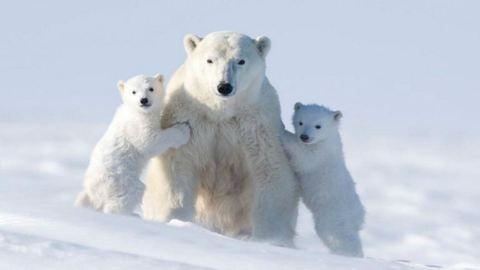 117 órát töltött a jéghidegben, de ezekért a jegesmedvés képekért megérte