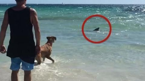Köszönni akart a cápának a barátságos kutya – videó