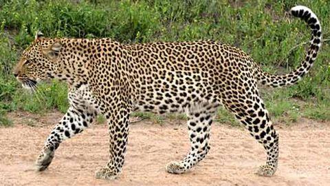 Hatan sérültek meg a leopárdtámadásban