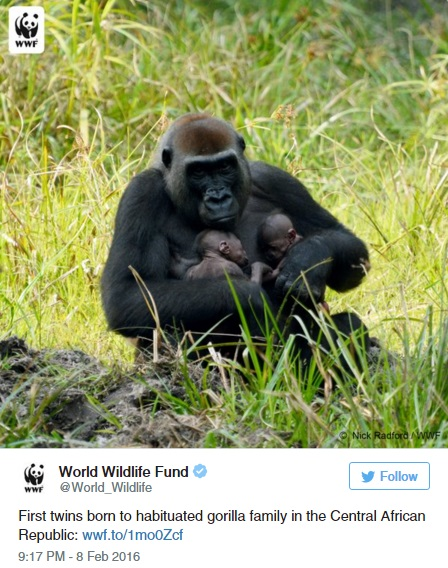 Ikergorillák születésének örül a világ - képek