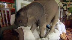 Mindenhová követi megmentőjét a kiselefánt – cuki videó