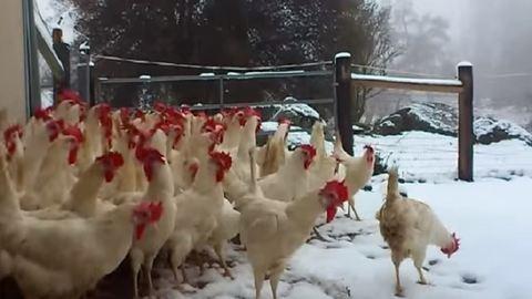 Életükben először látnak havat a megmentett csirkék – videó