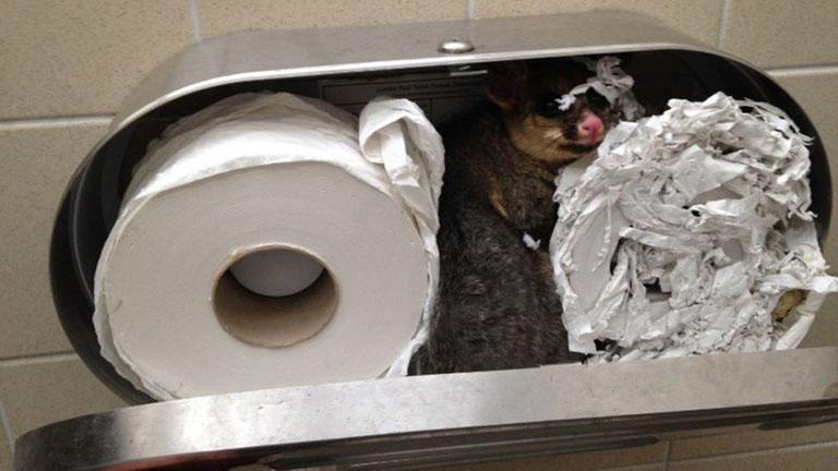 WC papír tartóba szorult a cuki oposszum