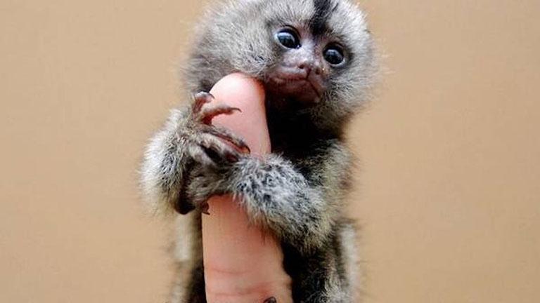 Illegálisan vásárolják fel a parányi majmokat