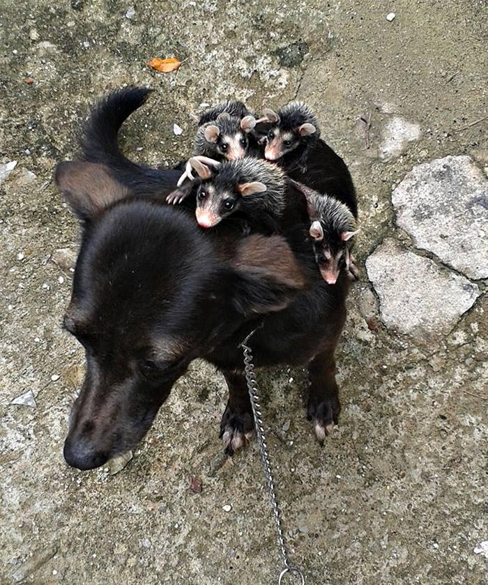 Napi cuki: elárvult oposszumcsaládot fogadott örökbe a kutya