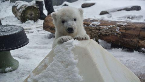 Ez a jegesmaci először mókázik a hóban – cuki videó