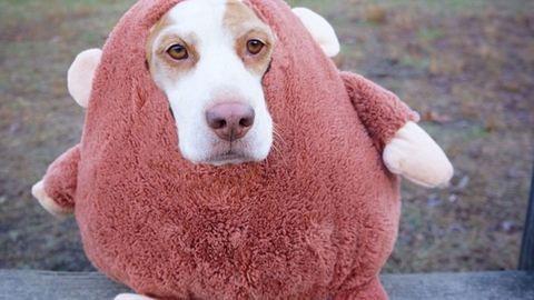 Ettől a jelmezes beagle kutyától tuti elolvadsz – képek