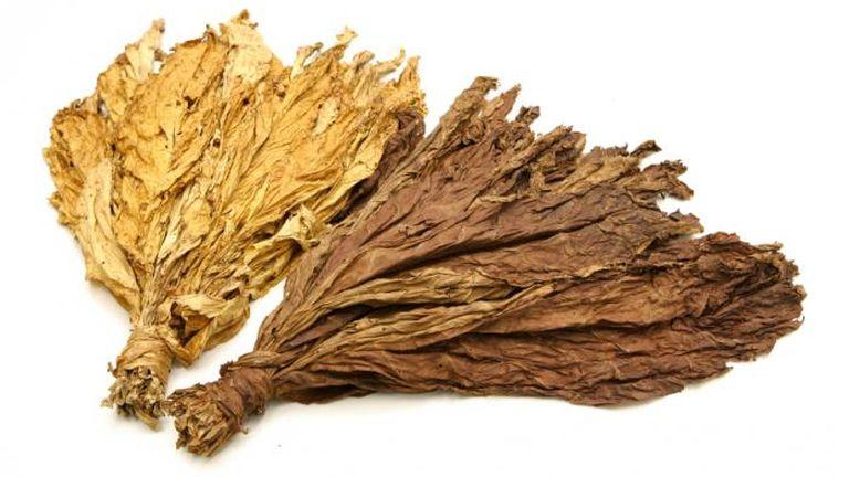 A dohánynövény a nikotin miatt mérgező
