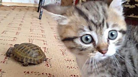 Teknőssel játszó kiscica az internet sztárja – vicces videó