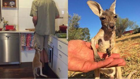 Imádni való kenguru az internet új sztárja – cuki videó