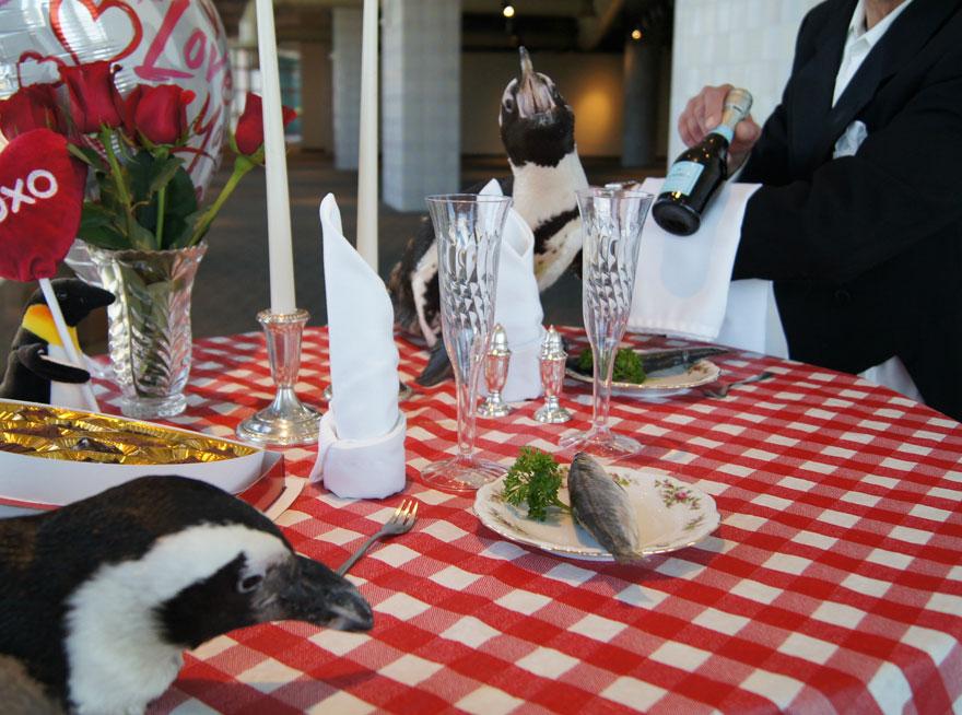 22. Valentin-napját ünnepelte a pingvinpár!