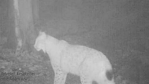 Íme a bizonyíték: hiúz él az Aggteleki Nemzeti Parkban – videó