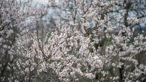 Őrült időjárás: már virágoznak a mandulafák – fotó