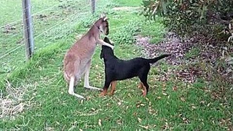 Így szeretgeti kutya barátját a kenguru – megható videó